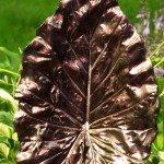 4759OR chameleon pearl on a concrete leaf yard art